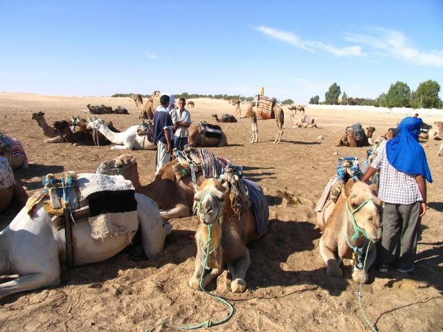 Tunisia, camels